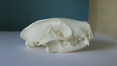 REAL Striped Skunk Skull Taxidermy Animal Teeth Claws Nice Gifts Arts (LAST ONE)