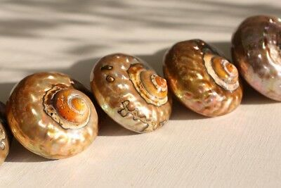 Copper Turbo sea Shells - Mother of Pearl - Natural Polished Sea shells - Home D