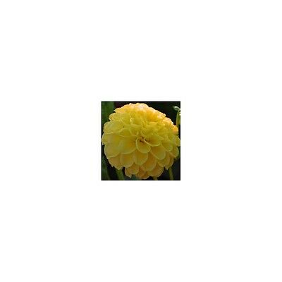 Bulbe Dahlia Golden Scepter Pompom X1