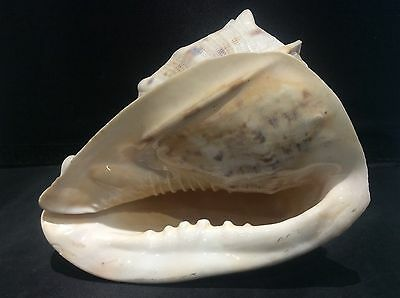 Vintage Huge CONCH Sea Shell Ocean Mouth Seashell Fish Tank Aquarium Bathroom 7""