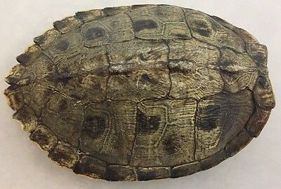 Real Turtle Shell - XXL Map Turtle - 9 - 10 inch Long - Biology Taxidermy