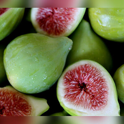 FR018 Ficus Carica, Green Fig x50 seeds Sweet and Juicy