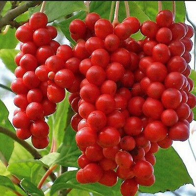 FR056 Five Flavour Fruit, Schisandra Chinensis x10 seeds