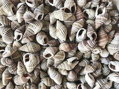 Shells NASSARIUS small 50g for Craft Project, Wedding, Home, Aquarium Decoration