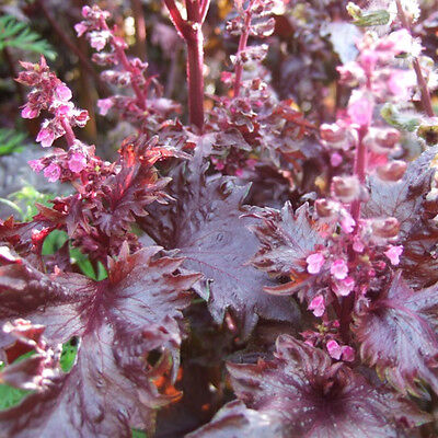 FR068 Japanese Shiso Perilla Red x200 seeds