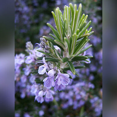 H065 Rosemary Seeds x15 seeds