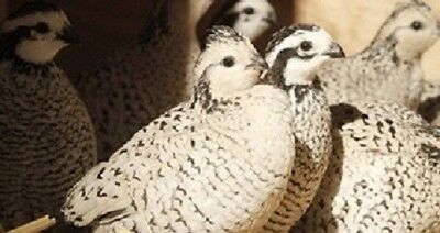 20 Fertile Snowflake bobwhite Quail hatching eggs