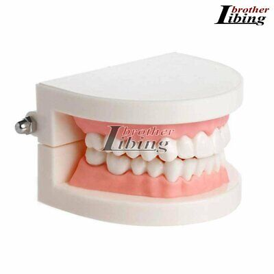 Dental Teaching Teeth Model Study Standard Typodont Demonstration Adult Oral Pro