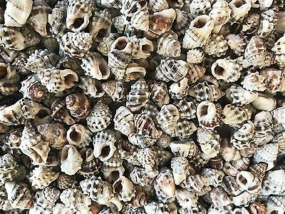 Shells NASARIUS BUMPY small 50g for craft, home&aquarium decor, table scatter