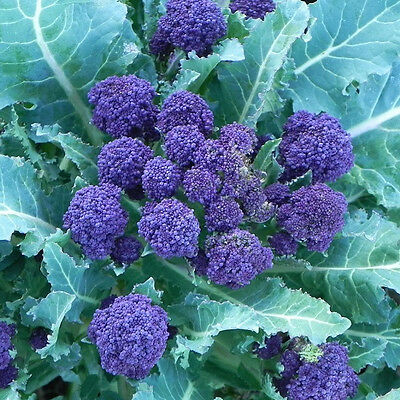 V036 Broccoli Purple Sprouting x100 seeds