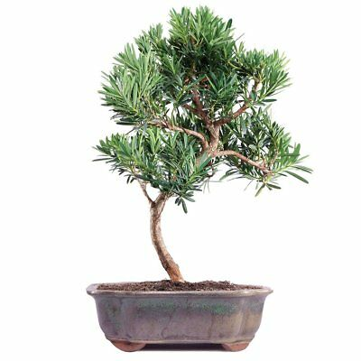 Brussels Podocarpus Micro Phyllus Bonsai, New, Free Shipping