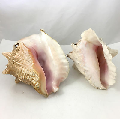 "Lot of 2 Conch Pink and White Seashells Large 10"" and 9"" Shells"