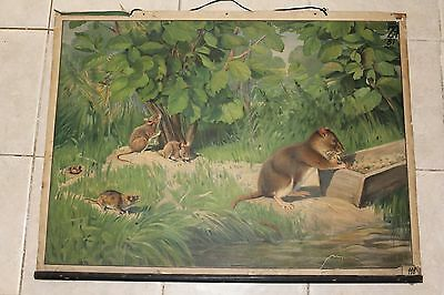 Original vintage zoological school chart of Mice , Mouse litograph
