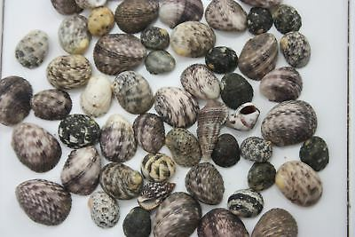 Bag of 75+  Snake Nerita Sea Shells - Natural Decor and Craft Shell Craft.  Wink