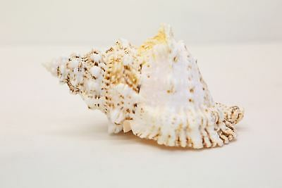 Frog Shell, Large White Seashell, Seashells, 15cm-17.5cm, Bursa Wedding Shells