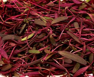 V153 Mountain Spinach, Orach Fire Red x100 seeds