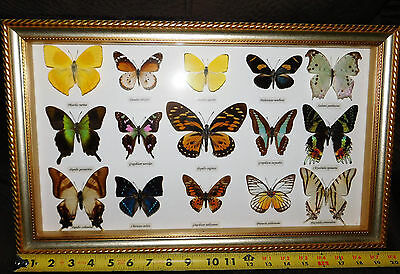 Superb Framed Butterfly Collection Of 15 Specimens