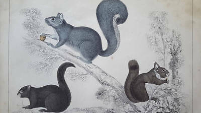antique natural history print SQUIRREL 1850's hand colored illustration