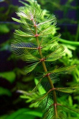 1 - 500 Bunches / Oxygenating Pond Water Plants - Milfoil - Weighted - Native
