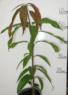 ORGANIC BOWEN MANGO / KENSINGTON PRIDE FRUIT TREE PLANT 60cm 1 YEAR OLD