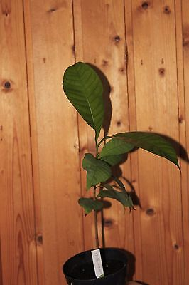 Extremely rare Gustavia gracillima plant about 35 cm