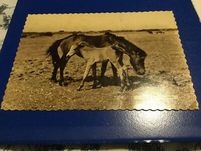 Vintage Collectors Postcard - V7295 New Forest Ponies