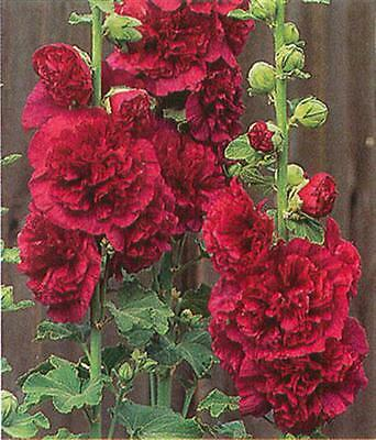25+  Hollyhock Lipstick Red Chaters Double, Alcea Roseas Perennial Flower Seeds