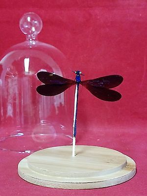 *Taxidermy Black Winged damsel fly Glass Dome -entomology-dragonfly-PURPLE-fly