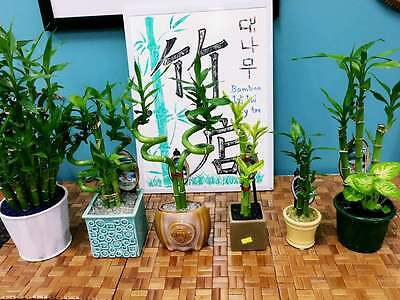 Real Lucky Bamboo beautiful pots decorative different sizes available  幸运竹 富贵竹