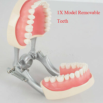 Compact Dental Adult Standard Typodont Demonstration Model Teeth For Studying