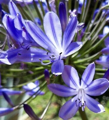 Blue n White Lily Flower Seeds Planting Plants Lilium Perfume Garden Rare Exotic