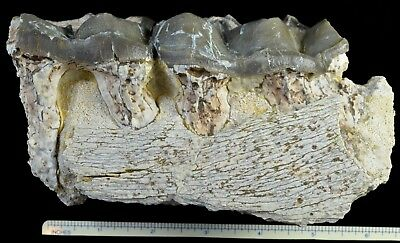 Titanothere, Brontothere, Jaw Section with 2 Teeth, Badlands, South Dakota, T332