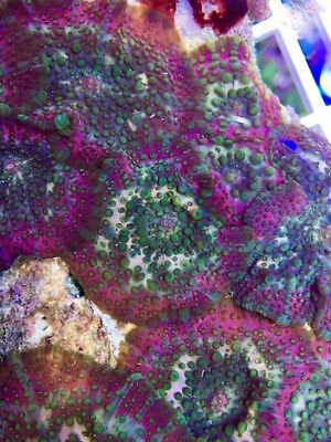 Acid Rainbow Mushroom Frag- Single Head/softcoral/marine