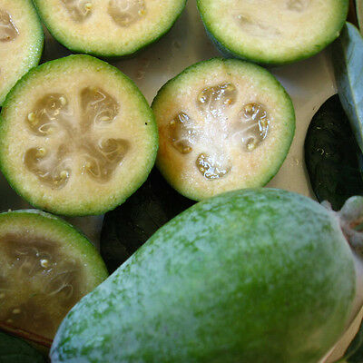 BF002 Feijoa Sellowiana x20 seeds Not for WA or Tas