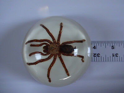 Large REAL Tarantula Spider Specimen Acrylic Dome Paperweight Oddities Decor