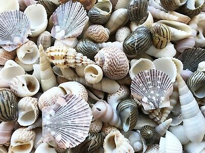 WHITE PEARL BROWN 300G Small Shells For Craft, Table Scatter, Home decoration