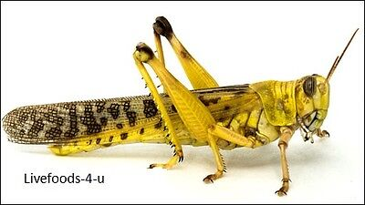 Locust Adult 50 In Tubs. Live Reptile Food. Packed Fresh Daily. Free Post