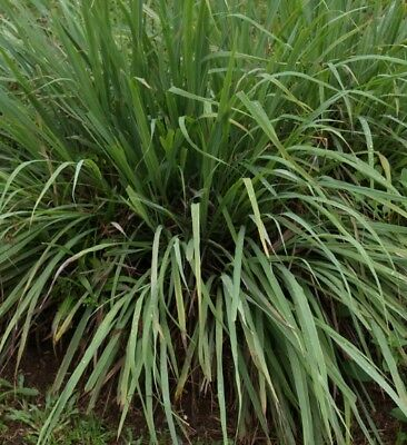 H104 Citronella (Ceylon Type) x30 seeds, Insect Repellent Plant seeds