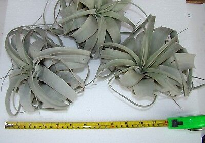 Tillandsia xerographica XL Air Plant Bromeliad Tropical House Plant
