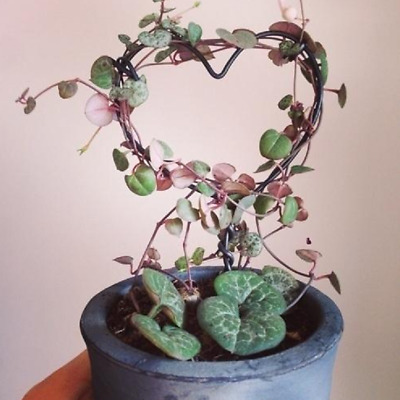 Ceropegia woodii / Chain of hearts / with roots / 1 x 30cm long stems