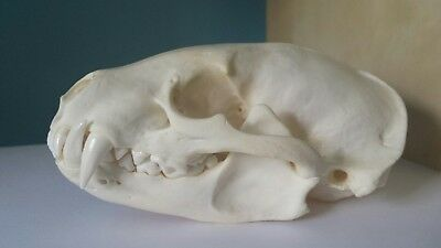 REAL Badger Skull Taxidermy Animal Teeth Claws Nice Gifts Arts Crafts Complete