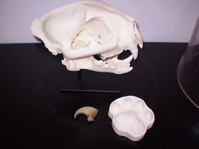 mountain lion skull replica, museum quality by Bone Clones with stand