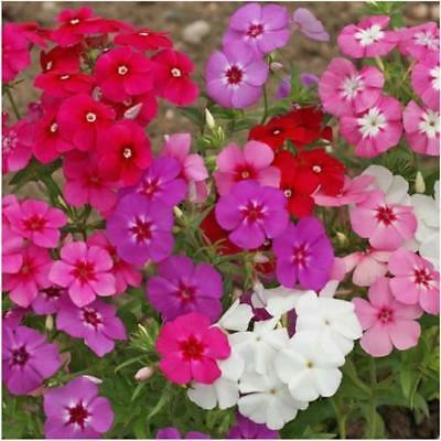 30+  Phlox Easter Bonnet Mix / Butterfly Magnet Fragrant Perennial Flower Seeds