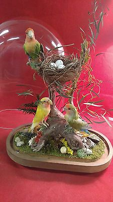 3 Taxidermy Lovebirds Antique Victorian Style Oval Dome Display-Budgerigars-bird
