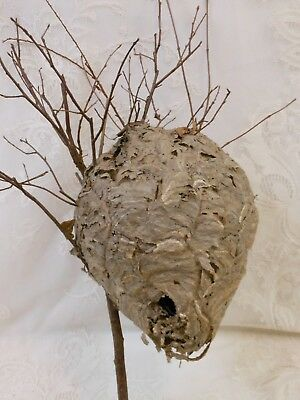 Small/Med Paper Wasp Hornets Nest Beehive Bee Hive Taxidermy Western New York