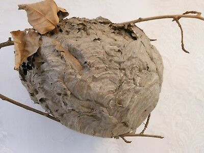 Medium Paper Wasp Hornets Nest Beehive Bee Hive Taxidermy Western New York