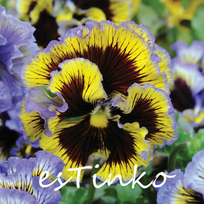 30pcs Mix-colors Pansy Frou Frou Pansy Seeds Hardy Plant Flower Seeds Perennial