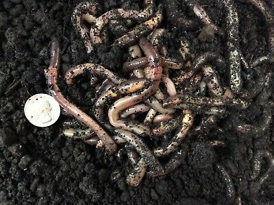 50 ct Large Canadian Nightcrawlers, Worms, Reptile Food, Fish Bait, Live Bait
