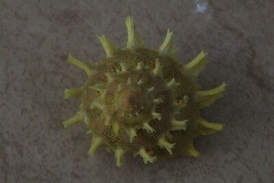 "Bolma girgyllus, ""RARE YELLOW"", 64mm, F+++/GEM, superb spine, rare quality"