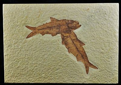 2 Two Knightia Eocaena Fossil Fish Green River Formation Wy Eocene Age 3.3 In